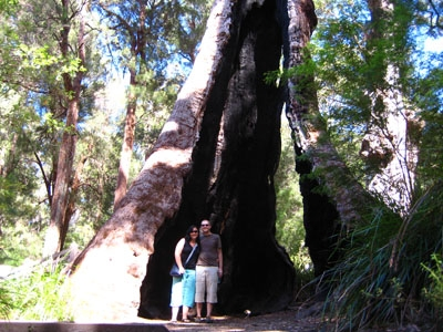 Giant Tingle Tree