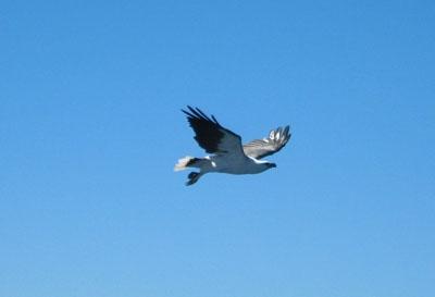 See-Adler auf Beutejagd