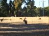 Kangaroos in der Abenddämmerung