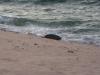 Eine verfrühte Schildkröte
