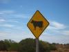 Vorsicht, wilde Kühe!